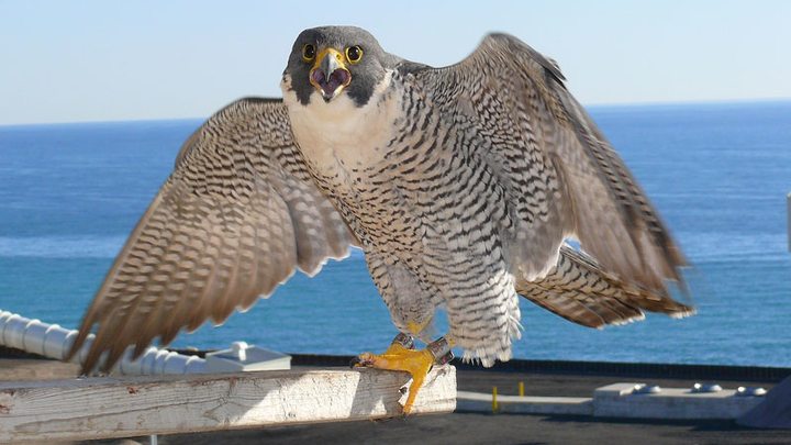 Content Dam Elp Gallery En Articles Slideshow 2015 04 Meet The We Energies Peregrine Falcons Adult Peregrine 2