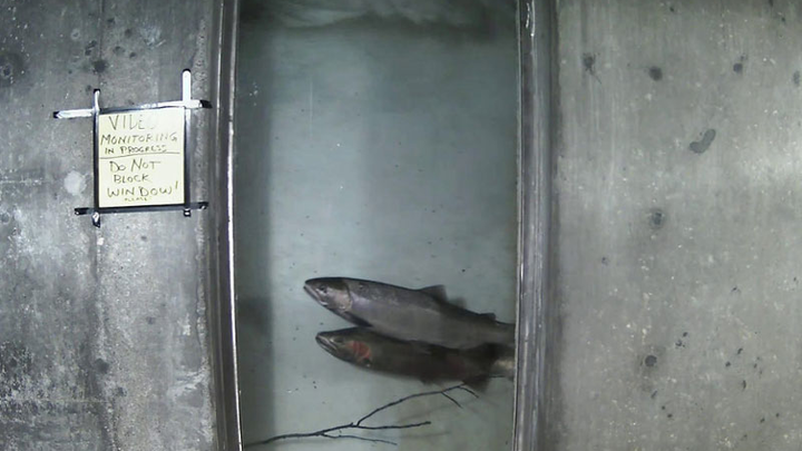 Content Dam Elp Gallery En Articles Slideshow 2015 July Delivering Power To The West Coast A Slideshow Profile Of Pacific Power Steelhead In Window Fish Ladder Elp