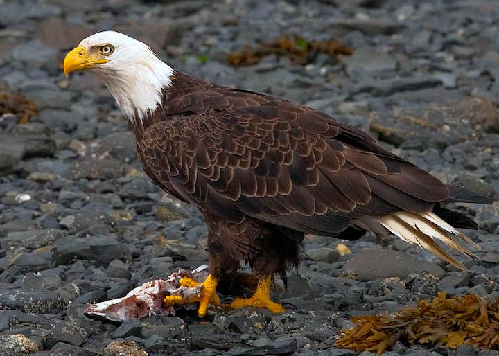 Content Dam Elp Online Articles 2014 06 Bald Eagle