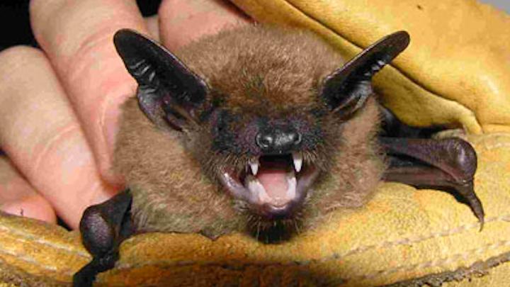 Content Dam Elp Online Articles 2014 08 Little Brown Bat