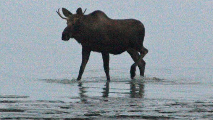 Content Dam Elp Online Articles 2014 08 Young Bull Moose