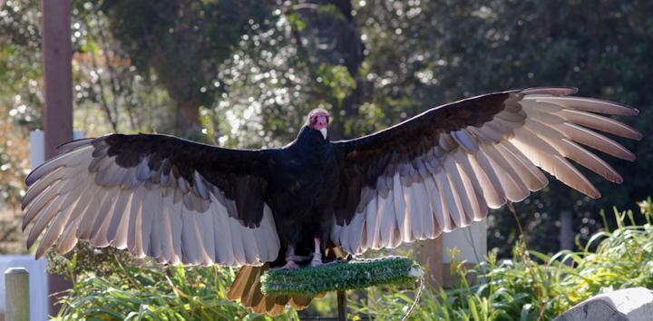 Content Dam Elp Online Articles 2015 June Turkey Vulture Elp