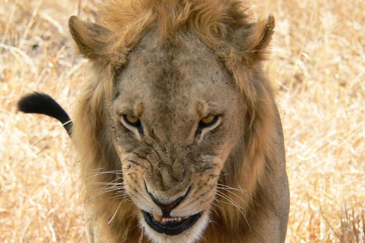Content Dam Elp Online Articles 2017 07 Lion In Tanzania Elp
