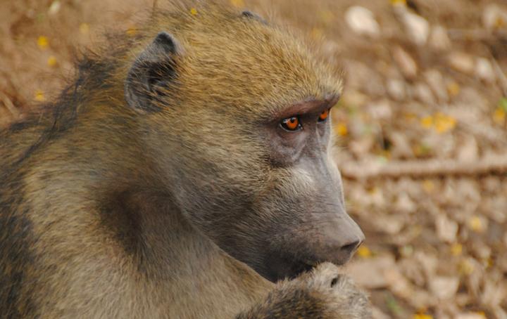 Content Dam Elp Online Articles 2017 07 Zambia Baboon Elp