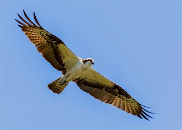 Content Dam Hubs Migrated Article 2013 08 09 Osprey